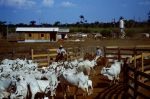 Rinder auf Fazenda in Mato Grosso Brasilien